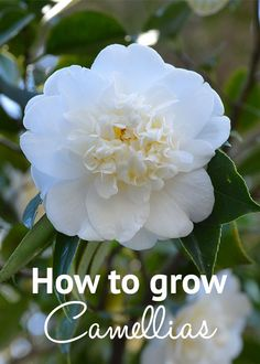 How to grow camellias - via David Domoney [ TheGardenFountainStore.com ]