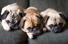 3 little pugs! #pugs  #puginvasion