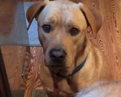 Chief Male Lab with Gainsville Pet Rescue 352-692-4773 in Gainsville 2 yrs 70 lbs does well with all dogs but plays rough has been around children but is skittish and doesn't trust new people would not suggest children email sent/answer recd