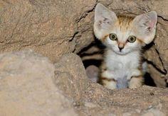 An Arabian Sand Cat ♥