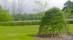 Our Large Living Willow Dome is now 4 years old, woven into the spiral pattern and looks particulary handsome!  Build your own with DIY Living Structure Willow Kits availble now.  #willow #gardens #gardendesign #livingwillow