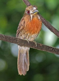 Birds Moustached Puffbird
