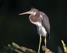 The Tricolored Heron (Egretta tricolor) is a small heron that is common throughout the Gulf of Mexico in the US and Mexico south through Central America and the Caribbean. This bird was formerly known as the Louisiana Heron.