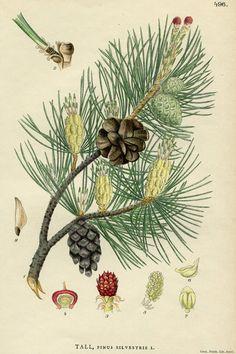 Items similar to ART CARD - Scotch Pine Vintage botanical print reproduction 496 on Etsy Vintage Botanical Prints, Botanical Drawings, Antique Prints, Botanical Illustration, Botanical Art, Illustration Art, Nature Illustrations, Sibylla Merian, Illustration Botanique