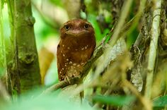 :  Sri Lanka Frogmouth (Ceylon Frogmouth)  A very comic looking yet beautiful and cute bird, Batrachostomus monilig...