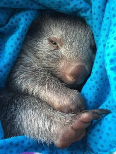 Adorable Little Baby Wombat - Aww!