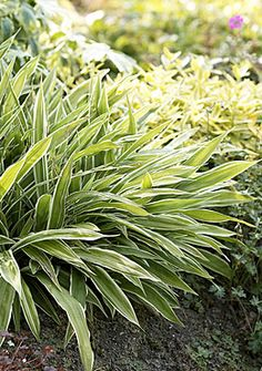 Carex siderosticha 'Variegata', summer 2010, from Stonepost Nursery.