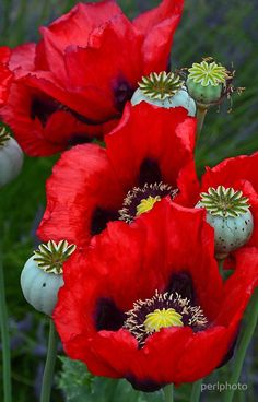 Red poppies in a cornfield galaxy s6 case for sale by tracey red poppy flowers mightylinksfo