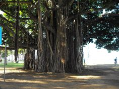"""One of the most notable things for us was the Banyan trees."" Submitted by Tammy Ferriola Owens on Facebook. #pinHawaii"
