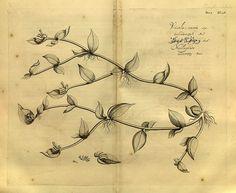 Hortus Malabaricus (1678-1693) | The Public Domain Review