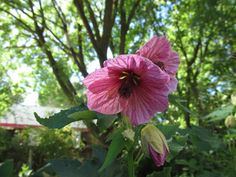 Abutilon schattenpflanzen gartenpflanzen schattig gartenideen