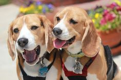 Here are pictures of the Beagles in my life. This is Kiaora and Wellington good friends to Billy Bean and Ivy Beagle