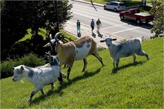 Al Johnson's Swedish Restaurant and famous goats on the roof - Sister Bay WI (Door County)