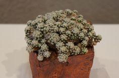 https://flic.kr/p/MAZmam | Mammillaria theresae - CSSA 2014 (2).JPG