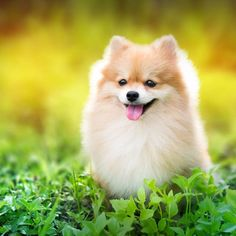 cute fluffy Pomeranian dog sitting in a spring park surrounded by yellow flowers on a sunny day😊😊😊  .  Posted by : @friendlypomeranian  Follow me to see more nice picture 😜  Thank you so much ☝️👌☝️👌 Tag someone who you'd want to share this photo with Beautiful 💜💌😚  All about Pomeranian Dogs for dog lovers.  @friendlypomeranian  👥 ⤵ Double tap & tag your friend Love it 😉  ❤❤❤  ❤❤❤  ❤❤❤  #Pom #baby #pomeranianspitz #pomstagram #pomeranianlife #pomeranianlovers #puppy #puppylove…