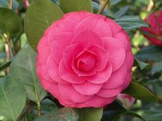 Mathotiana Supreme Camellia has extremely large, double blooms with loose, irregular, flaming crimson petals. Flowers make a great contrast with the glossy, dark green foliage. A prized plant for the milder regions of the U.S. Mid season bloomer. Evergreen. (Zone 8-10)