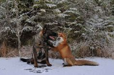 Love is love-friendship between a fox & hound!