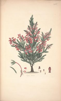 plants-22627 erica savileia  botanical floral botany natural naturalist nature beautiful nice flora plants blooming ArtsCult.com Artscult ArtsCult vintage printable public domain 300 dpi commercial use 1800s 1700s 1900s Victorian Edwardian art clipart royalty free digital download picture collection pack paintings scan high qulity illustration old books pages supplies collage wall decoration ornaments Graphic engravings lithographs cen