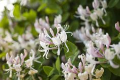 Making Use of Invasive Honeysuckle - Herbal Living