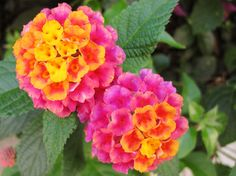 Lantana. My favorite flower in the yard