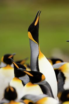King Penguin Aptenodytes Patagonicus Photograph by Luciano Candisani