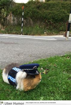 New Zealand Police have a guinea pig for a mascot | Funny Pictures, Quotes, Pics, Photos, Images. Videos of Really Very Cute animals.