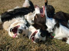 #dogs #puppies border collies