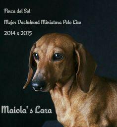 Multi Campeona Maiola's Lara Mejor Dachshund Miniatura Pelo Liso 2014 & 2015  Costa Rica