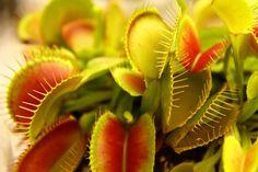 식충식물의 대명사 파리지옥 - 네모판