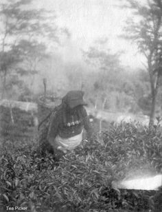Tea Picker!!!... The black and white photographs are so beautiful... !!!