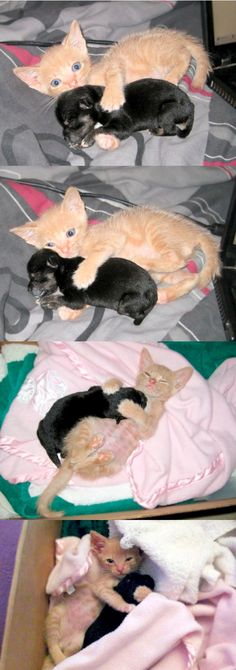A kitten named Cheech was introduced to a five-day old orphaned chihuahua puppy named Casanova. Cheech took to the puppy, immediately grooming and cleaning him.The puppy responded to his every touch, snuggling up to his new friend like a pup to his mother. (cat, dog)