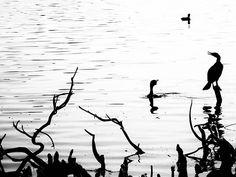 I guess I this guy didn't want to go for a swim lol . . . #blackandwhitephoto #bnw_life #bnw_captures #bw_society #thecitybeautiful #Orlando #Florida  #instabird #beak #wing #birdsofinstagram #instagramanet #feathered #bird #wings #feathers #birdstagram #feather_perfection #birdlover #fly #birdwatching #feather #birds #instabirds #flight #birdcage #birdgang #featheredfriends #birdland