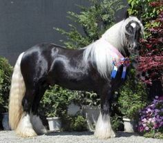 Silver Fox of Misty Valley Farms  A black silver dapple Gypsy Cob Stallion. This is the photo that grabbed me!