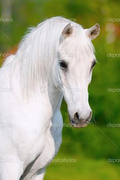 White Horse Pictures Only | White horse portrait in summer day - Stock Image