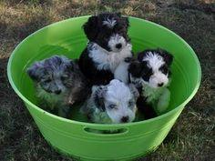 Nothin' like a little bucket of Aussiepoo puppies (Aussiepoos are half Australian Shepherd, half miniature poodle)