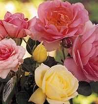 How to Hybridize a Rose