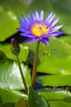 Picture of Blue Egyptian water lily in blossom, Nymphaea Caerulea stock photo, images and stock photography.