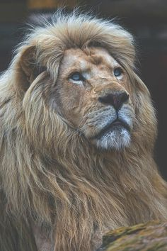"""""""The Pretty Bouba"""". portrait of Bouba, the male lion father, looking calm and bit upwards., by tambako the jaguar. Animals And Pets, Baby Animals, Cute Animals, Pretty Animals, Jungle Animals, Beautiful Creatures, Animals Beautiful, Beautiful Lion, Lion Love"""