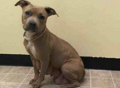 URGENT - Manhattan Center    BATISTA - A0991077   FEMALE, TAN / WHITE, PIT BULL MIX, 3 yrs  STRAY - STRAY WAIT, NO HOLD Reason STRAY   Intake condition NURSING Intake Date 02/05/2014, From NY 10458, DueOut Date 02/08/2014 New thread: https://www.facebook.com/photo.php?fbid=753482877997927&set=a.617938651552351.1073741868.152876678058553&type=3&permPage=1