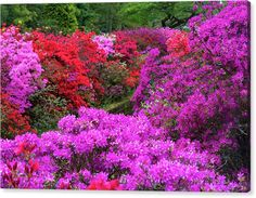 Jenny Rainbow Fine Art Photography Canvas Print featuring the photograph Purple Symphony of Spring Rhododendrons by Jenny Rainbow Most Beautiful Gardens, Beautiful Flowers Garden, Rose Of Sharon Bush, Landscaping Shrubs, Flowering Bushes, Trending Art, Floral Photography, Small Trees, Firebird