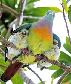 Under Her Wings First, how gorgeous is this bird? Second, how cozy do those baby birds look tucked under their mama's wings?