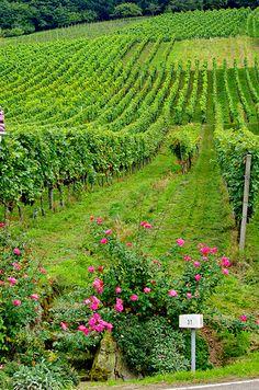 Vineyards - Baden-Baden, Germany