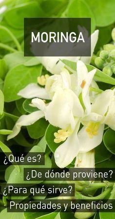 Moringa : propiedades, beneficios para la salud, efectos secundarios y dosis recomendada