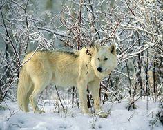 Alexander Archilegalo Wolf
