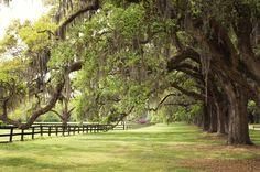 Charleston South Carolina Photo  Large Oak Trees by StephsShoes