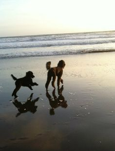 Charlie following Max at Stinson Beach in Marin County - #poodles #StinsonBeach #MarinCounty