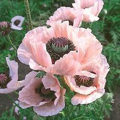 Papaver Orientale Princess Victoria Louise Poppy Flower Seeds /Perennial Easy To Grow Perennial Full Sun / Partial Shade Beautiful Salmon Colored Blooms Grows 36 Inches Current Year's Fresh Seeds Pink Poppies, Pink Flowers, Poppy Flowers, Coral Reef Plants, Papaver Orientale, Poppy Flower Seeds, Rosa Coral, Coral Pink, Coral Color