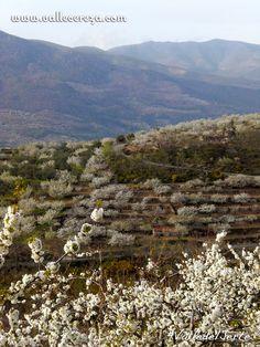 Del Hanami a la Fiesta del  Cerezo en Flor Valle del Jerte (Cáceres) www.vallecereza.com #viajar #turismo #destino