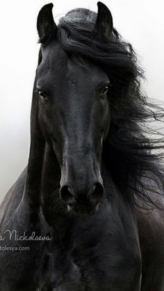 Friesian beauty 😍 Rate from Cute Horses, Pretty Horses, Horse Love, Most Beautiful Horses, Animals Beautiful, Cute Animals, Beautiful Beautiful, Beautiful Pictures, Black Horses