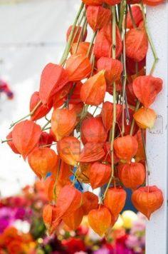 Dried orange Chinese Lantern flowers